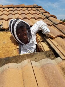 Dan Luong removing bees from attic.