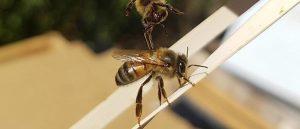 Bee Man Dan background