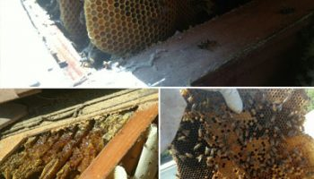 Bee Relocation To A More Suitable Area